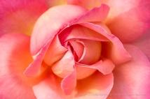 Pink & Yellow Rose, 5.10.17