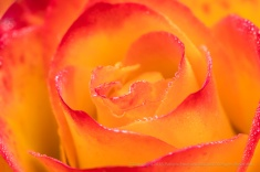 Rose with Dewdrops (II), 1.24.18