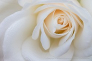 White_Rose_with_Dewdrops,_12.19.18