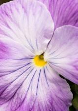 Viola tricolor (III), 2.14.18