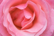 Pink Rose, 1.3.18