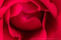 Red Rose, 1.4.19