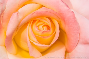 Rose in Pink & Yellow, 5.11.17