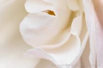 Soft Rose Petals, 1.4.18