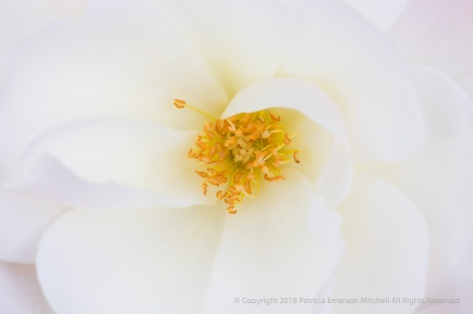 White Petals, Yellow Pistil & Stamen, 1.24.18