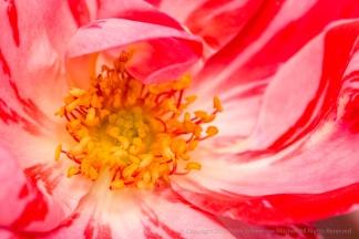 Festival Fanfare Rose (I), 5.9.16
