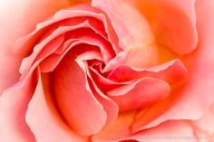 Salmon_Rose_(II),_4.19.16