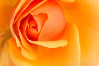 Yellow-Orange Rose, 5.2.16