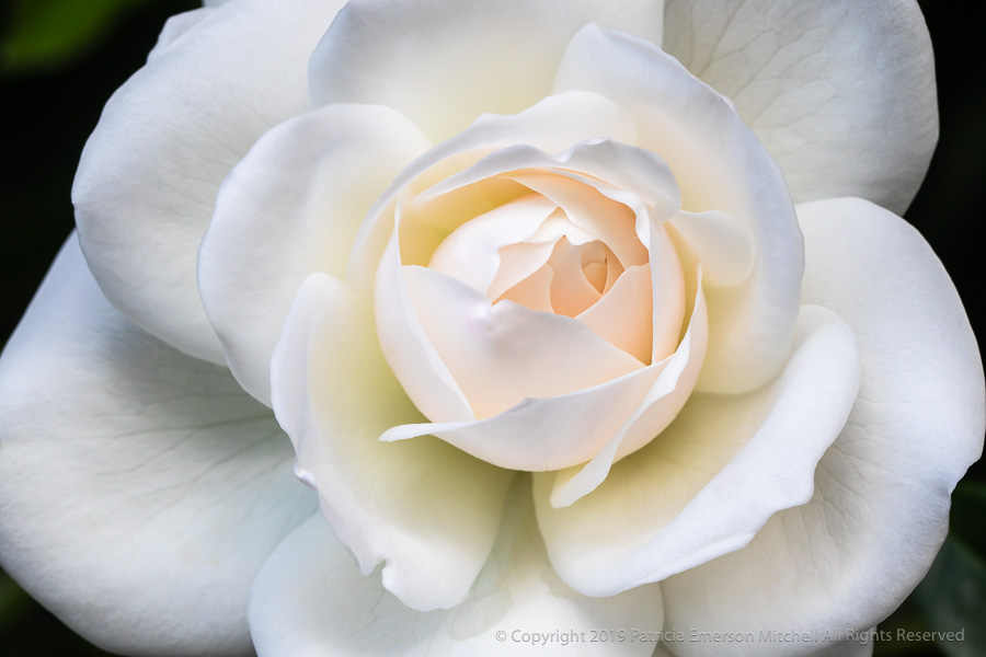 Final_Shot-_White_Rose,_3.28.19.jpg