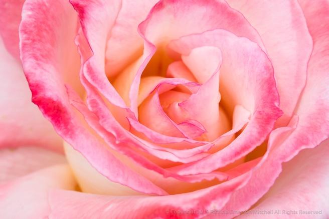 Pink_&_White_Rose_(II),_4.18.18.jpg