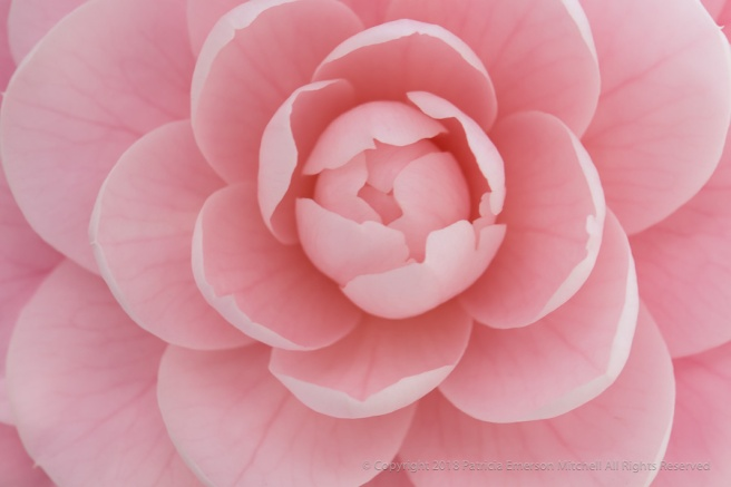 Light_Pink_Camellia_(III),_3.9.18.jpg