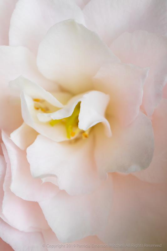 Pale_Pink_Camellia,_4.4.18.jpg