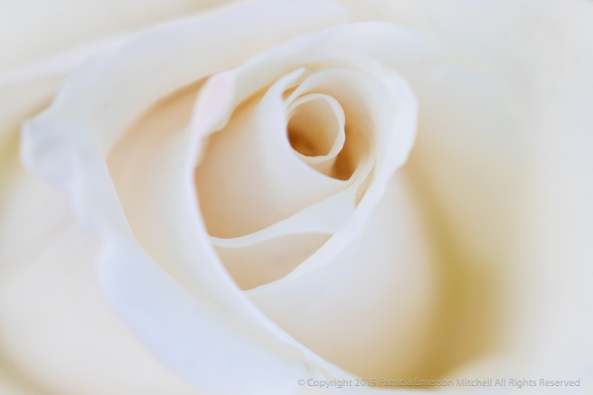 Soft_White_Rose,_4.17.18.jpg