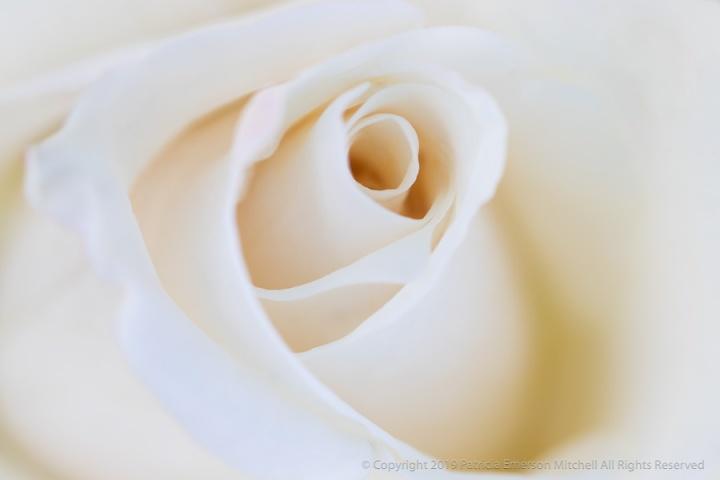 Soft_White_Rose,_4.17.18.jpg