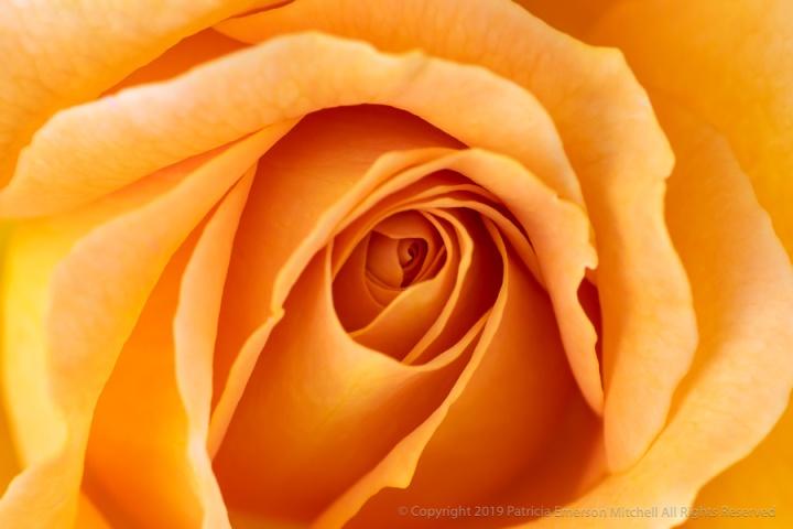 Yellow-Orange_Rose,_4.19.18.jpg