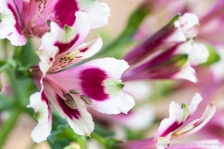 Alstroemeria,_Pink,_White,_Green,_5.23.19.jpg