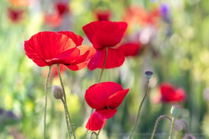 Red_Poppies,_5.2.18.jpg