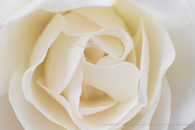 Cream_Colored_Rose,_1.4.18.jpg