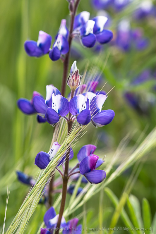 Lupine_in_the_Grass,_4.15.19.jpg