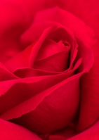 Red Rose, 5.3.19