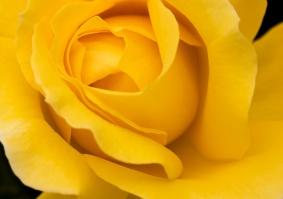 Yellow Rose (II), 7.5.19