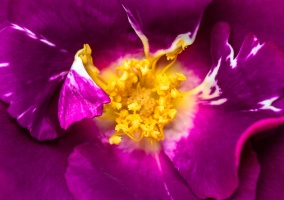 Purple Rose, 5.3.19