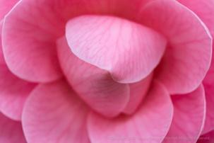 Pink Camellia, 3.4.19