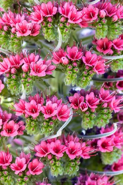 Pink Echium, 5.1.19
