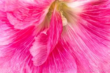Pink Alcea, 5.29.19