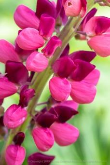 Pink Lupine, 6.20.19