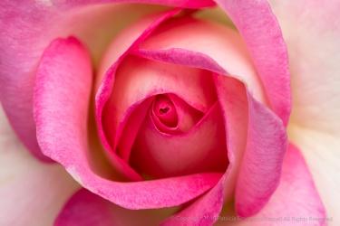 Falling In Love Rose, 7.22.19