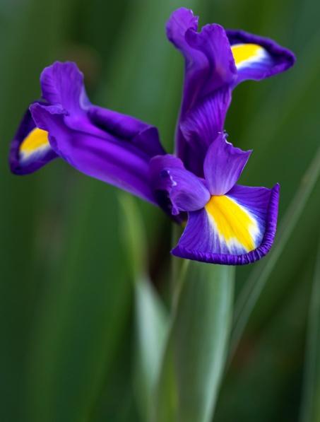 Purprle & Yellow Iris, 4.24.19