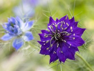 Dark Purple Nigella Damascena, 5.8.19