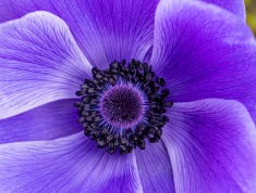 Purple Anemone, 2.11.19