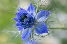 Blue Nigella Damascena (I), 5,8.19