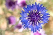 Blue Centaurea Cyanus, 6.17.19