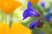Phacelia with Californai Poppies, 6.19.19