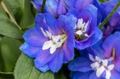 Delphinium Flowers & Leaves, 8.29.19