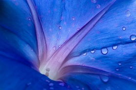 Blue Morning Glory with Water Drops, 9.16.19