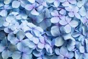 Blue Hydrangea, 10.11.19