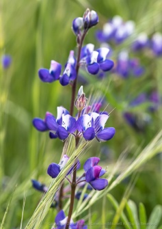 Lupine in the Grass, 4.15.19