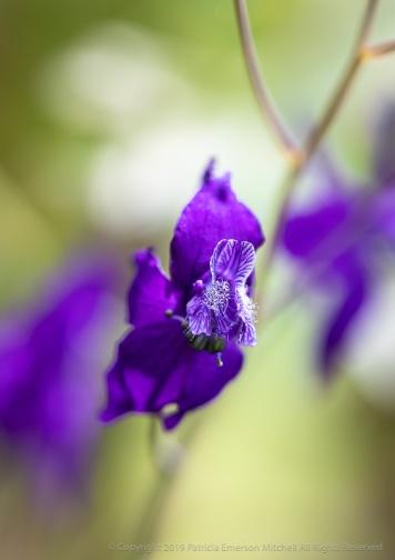 Delphinium patens, 4.15.19