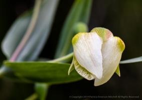 Calochortus albus (I), 4.15.19