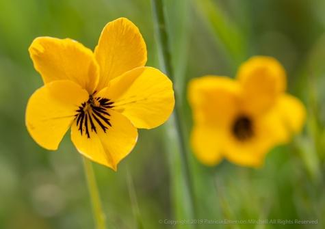 Viola pedunculata, 4.15.19
