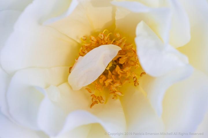 White_Rose_(IV),_4.30.19.jpg