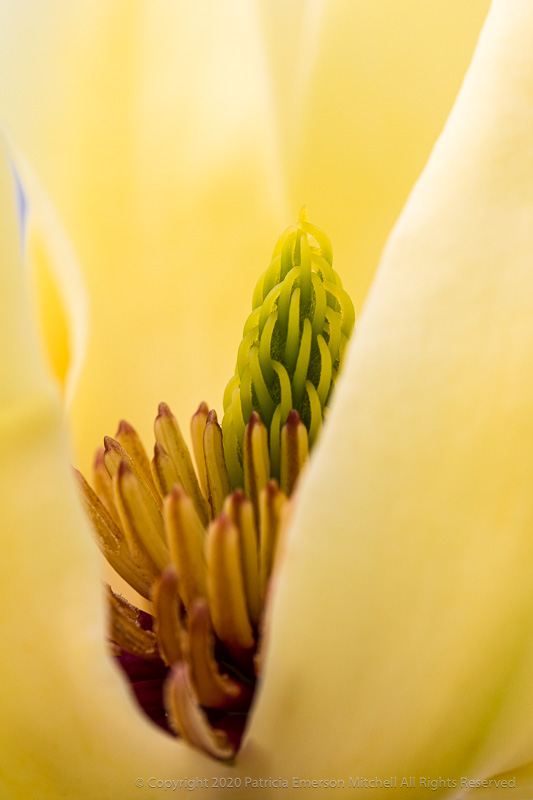 Yellow_Magnolia,_2.7.18.jpg