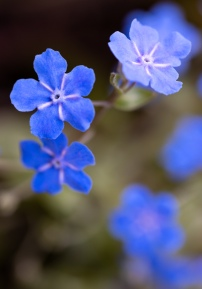Omphalodes, 2.20.20