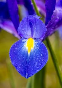 Iris, 3.16.20