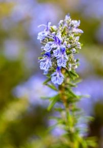 Salvia rosmarinus, 1.30.20