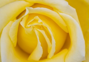 Pastel Yellow Rose, 4.16.20